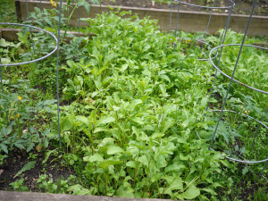 Arugula growing between the tomato plants.