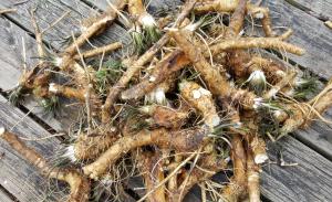 Horseradish harvest March 22, 2016