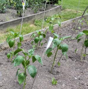 Pepper planting.