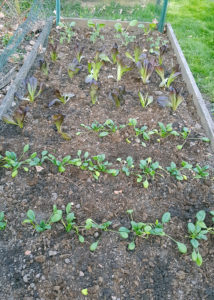 Spring Vegetable Planting Complete!